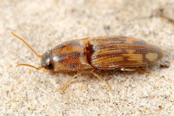 Click Beetle - Conoderus pictus