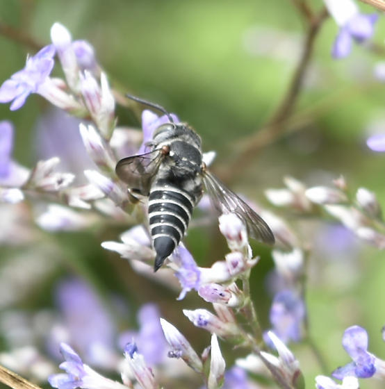 black and white awesome 'bee' - Coelioxys - female