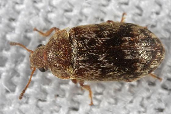 unknown tiny beetle - Xerasia grisescens