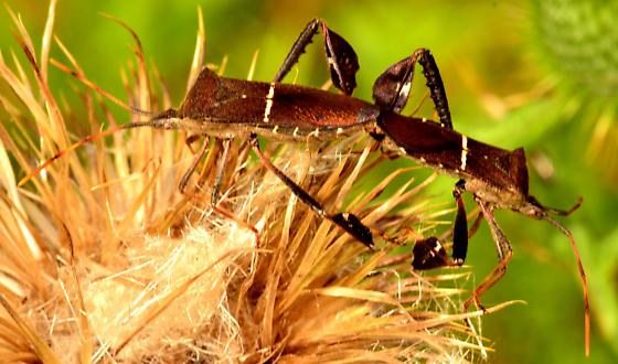 Leaf-footed bugs (Leptoglossus phyllopus) mating pair - Leptoglossus phyllopus - male - female