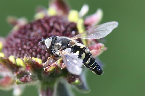 Diptera? - Eupeodes volucris