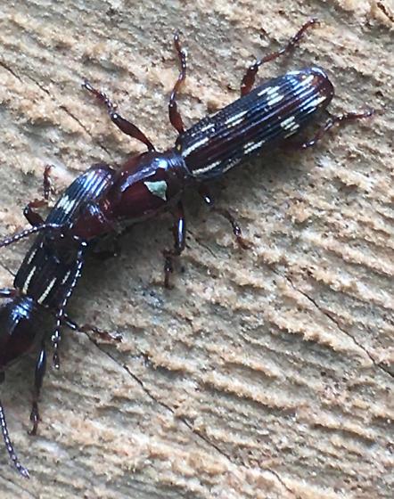 Unknown Beetle - Arrhenodes minutus