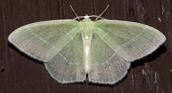 7048, Nemoria mimosaria, White-Fringed Emerald - Nemoria mimosaria
