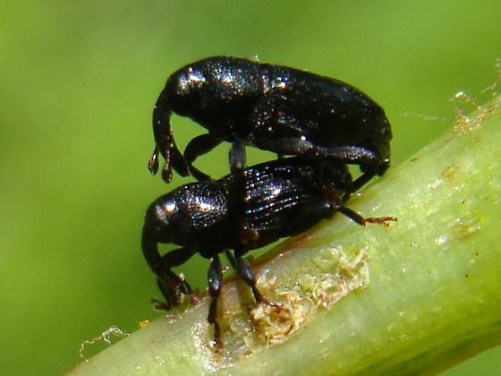 Glossy weevil on wild grape vine - Ampeloglypter ampelopsis - male - female