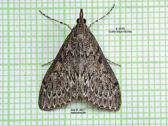 Saucrobotys fumoferalis - Dusky Saucrobotys - Hodges#4935 - Saucrobotys fumoferalis