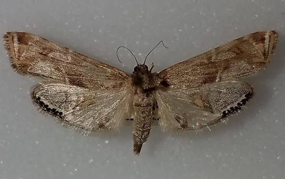 Petrophila longipennis