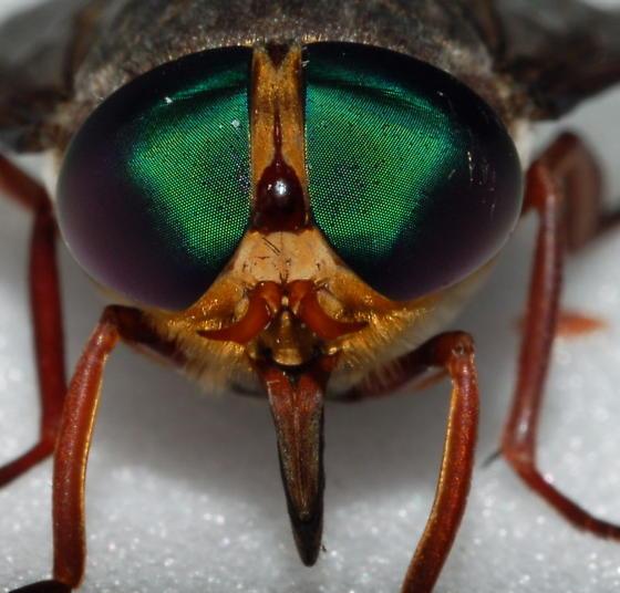 Awesome Fly - Tabanus americanus - female