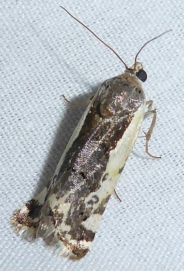 Moth - Tarache augustipennis