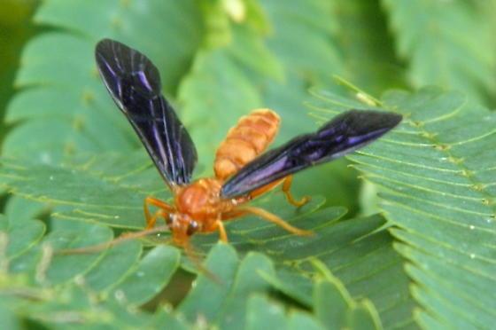 Orange Wasp - Trogus pennator