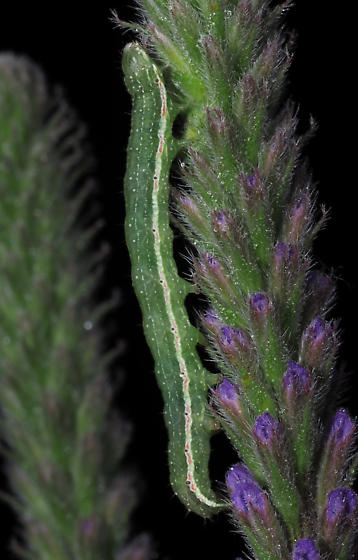 Verbena Moth caterpillar - Crambodes talidiformis