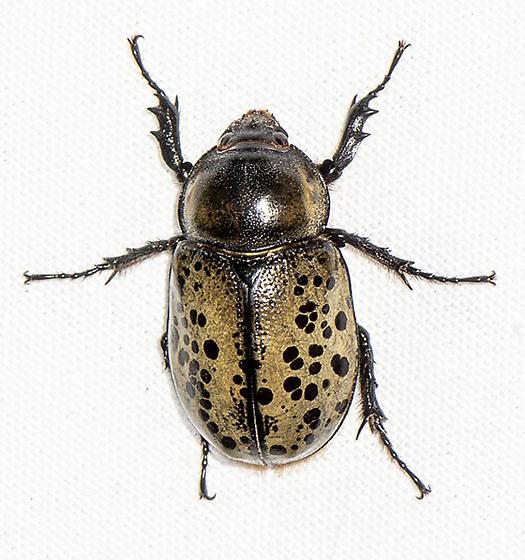Eastern Hercules Beetle - Dynastes tityus - female