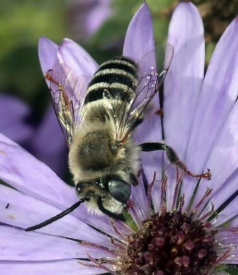 Urbane Digger Bee - Anthophora urbana