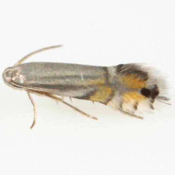 Coptodisca - Coptodisca undescribed-species-on-conocarpus-erectus