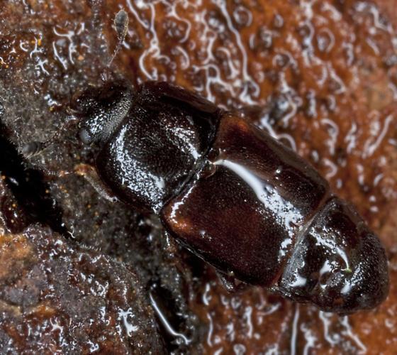 Beetle IMG_0119 - Urophorus humeralis