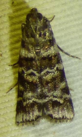 Dioryctria amatella - Southern Pine Coneworm - Dioryctria