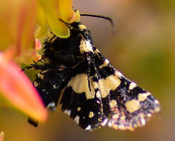 grape leaf moth? - Thyris sepulchralis