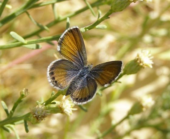 Western pygmy blue butterfly - photo#6