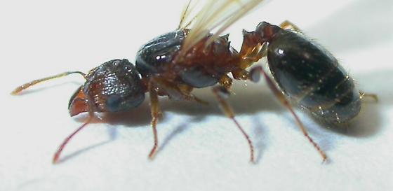 Pheidole megacephala - female