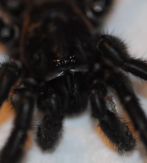 Tarantula - Eucteniza relata