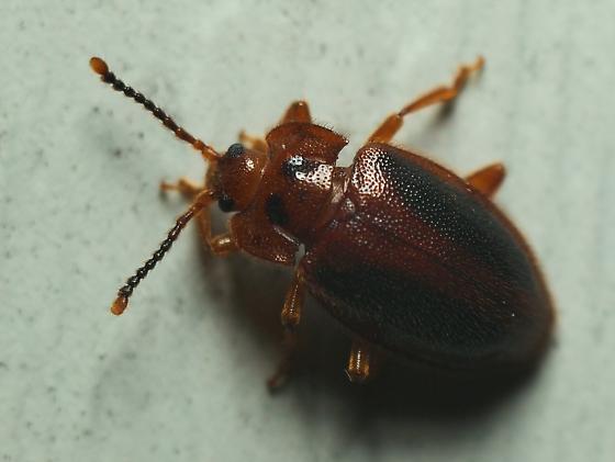 Odd Beetle - Epipocus punctatus