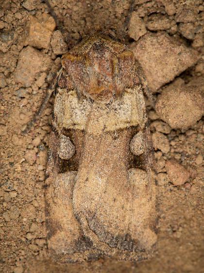Moth - Richia serano