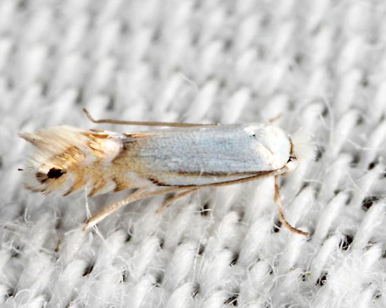 Phyllonorycter argentifimbriella