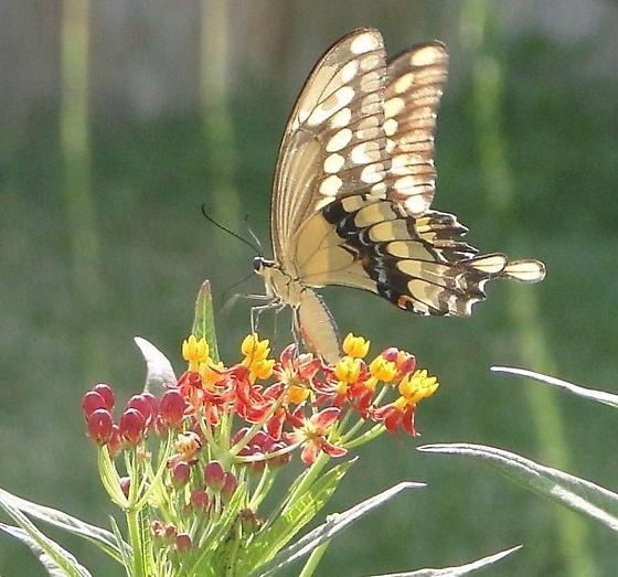 So Pretty!!!!   Yellow - Papilio rumiko - female