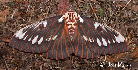 Splendid Royal Moth - Citheronia splendens