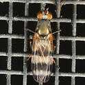 Fly with banded wings - Chaetopsis massyla
