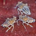 Hopper nymphs - Megamelus