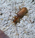 Reddish beetle with a long neck - Pseudaptinus
