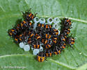 Eight hour old first instar Brown marmorated stink bugs clustered on egg mass. - Halyomorpha halys