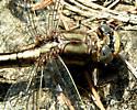 Lancet Clubtail? - Phanogomphus exilis