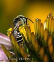Bee on Coneflower - Halictus - female