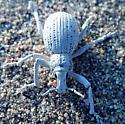 Death Valley Beetle - Ophryastes desertus