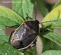 Stink bug - Apateticus marginiventris