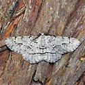 910877Stenoporpia anastomosaria ? - Stenoporpia