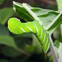 Carolina Sphinx Moth caterpillar - Manduca sexta