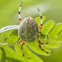 Unidentified Spider-A - Araneus marmoreus