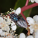 Blow Fly? - Compsomyiops callipes - female