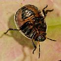 Nymphs on Sebastiania fruticosa - Orsilochides guttata