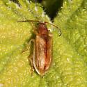 Unknown beetle - Syneta