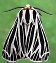 Arctiidae: Grammia virguncula? - Apantesis virguncula