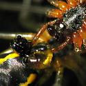 Filmy Dome Spider Sex - Neriene radiata - male - female
