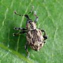 Tanysphyrus lemnae? - Tanysphyrus lemnae