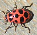Spotted Lady Beetle? - Coleomegilla maculata