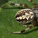 spider, orb ? - Neoscona oaxacensis