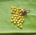Yellow eggs and Leptus mite