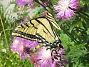 Papilio multicaudata - male
