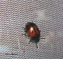 Little Beetle may 26 08 ghg - Diaperis maculata